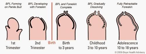 desenvolvimento do pénis na infância